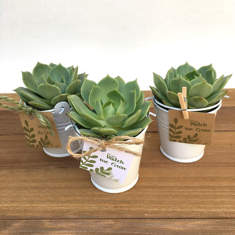 12 Succulent Wedding Favors-Spring Favors-Succulents-Succulent Party Favors-12 Plant Favors-Bridal Shower Favors-Favors in Tin Pails