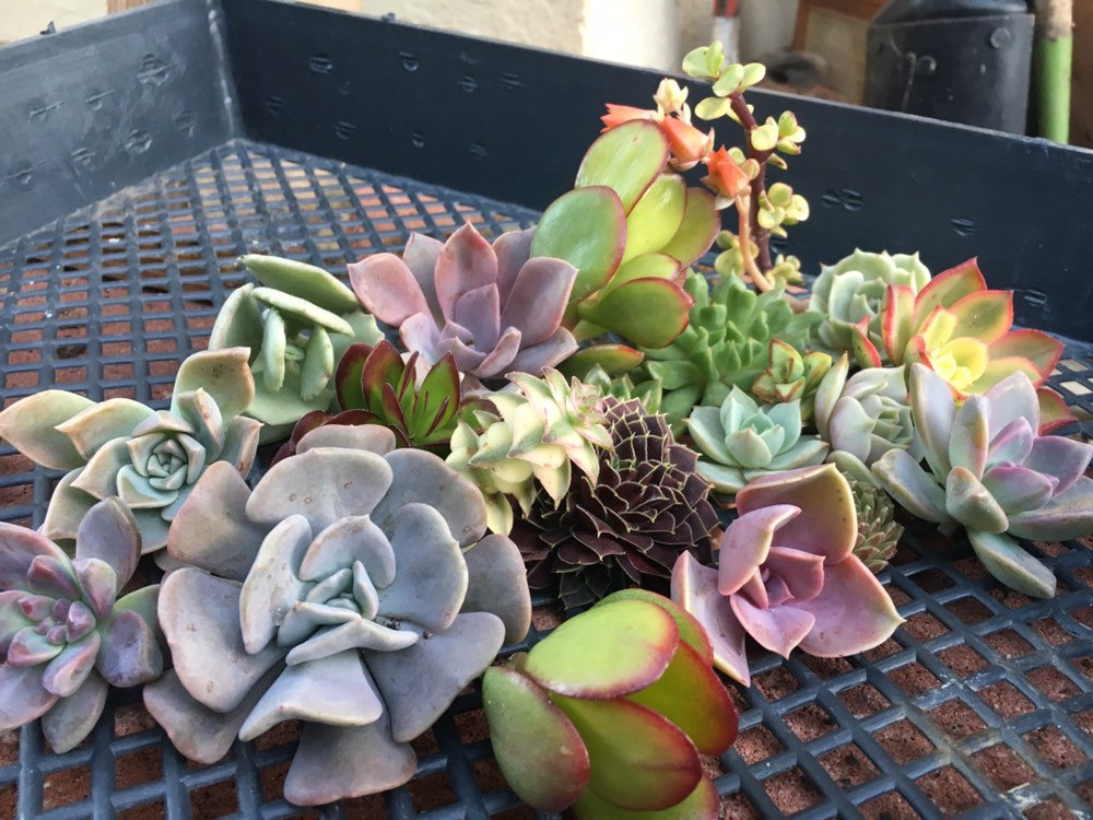 """Special 20 Misc Succulents 
